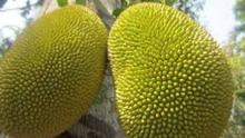 Jackfruit, from the fig family, is growing in popularity