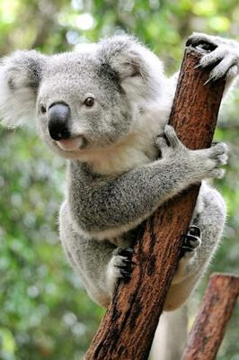 'World Wide Fund For Nature (WWF)-Australia found that, since 2001, the number of koalas in Queensland had fallen by half, while in New South Wales numbers may have declined by up to 61pc'