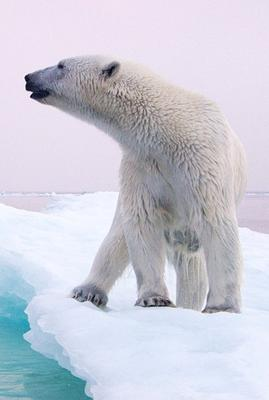 There is an intimate link between Polar Bears and arctic sea ice they live on