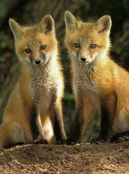 Irish foxes produce one litter per year.
