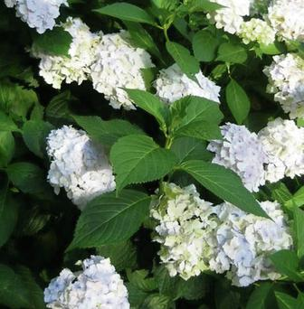 Hydrangeas have perked up again