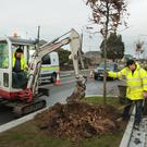 Thirty-two new pin oak trees are being planted on The Avenue by Kinbark, Camolin. They will be protected by up-lighted tree guards