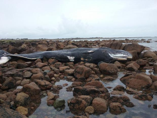 The 11-tonne whale washed ashore at Carnsore.