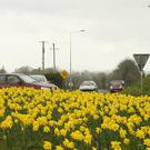 30,000 daffodil bulbs are planted on Clogh Roundabout.