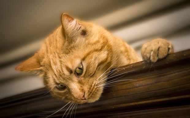 Up to one in five older cats suffer from hyperthyroidism