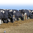 Cattle eating silage on Hook Head during the recent good weather