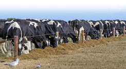 Cattle eating silage on Hook Head during the drought in summer 2018