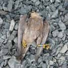 One of the two protected Peregrine falcons, possibly poisoned