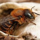 The endangered Gold-fringed Mason Bee