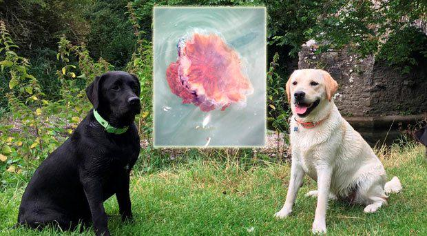 Maja Ziolkowska's two Labradors, which were left seriously ill after being stung by a lion's mane jellyfish (inset) in Skerries
