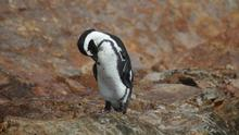 Port Elizabeth: A penguin on St Croix island