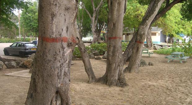 Locals mark the manicheel trees red to warn off tourists