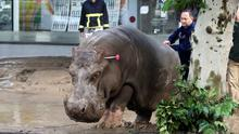 A man directs a hippopotamus after it was shot with a tranquilizer dart at a flooded street in Tbilisi