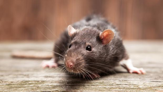 A rat was seen in Leinster House