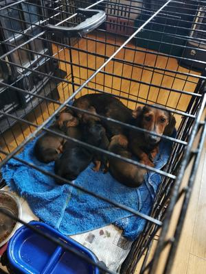 A dachshund and pups were among the pets found in Swords