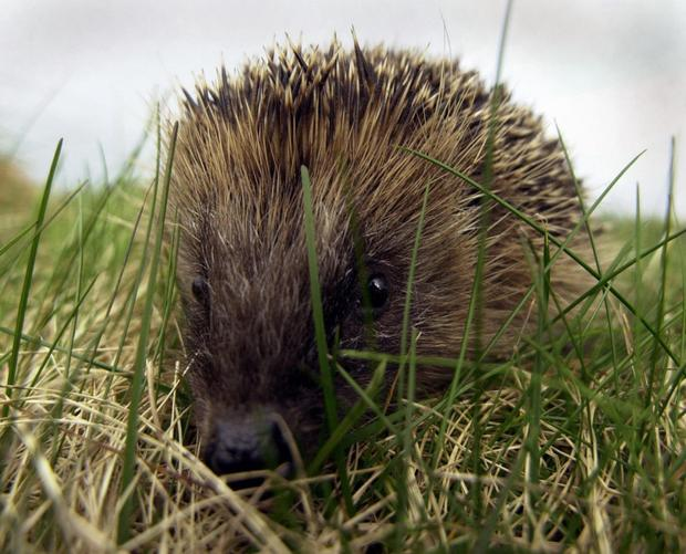 Hedgehogs are protected