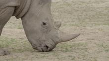 Endangered rhino Zuko is being moved to a park in Wales