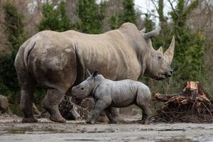 A southern white rhinoceros calf was born to mother Ashanti at Dublin Zoo
