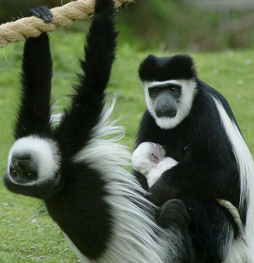 SPECIAL DIET: Colobus monkeys at Dublin Zoo