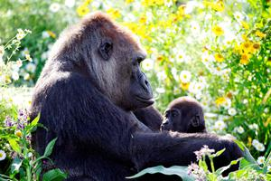 Western lowland gorilla Lena, seen here with baby Kituba, died at Dublin Zoo in 2018