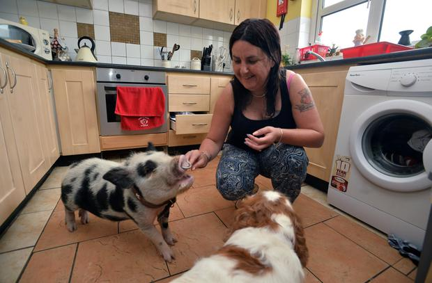 Babe, a nine month old micro pig who thinks he's a dog is turning heads with his owner Deirdre O'Donnell in Tuam Co Galway.