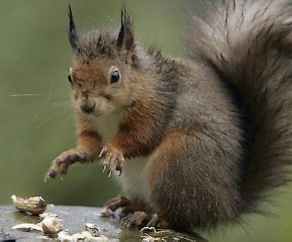 New hope for red squirrel conservationists has been found.