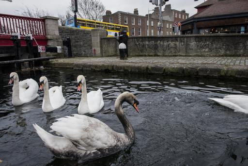 Swans covered in oil are recovered from Portobello Harbour in Dublin 6