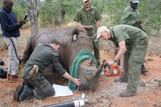 Ken Mackey saves the life of a white rhino in Zimbabwe by de-horning the animal