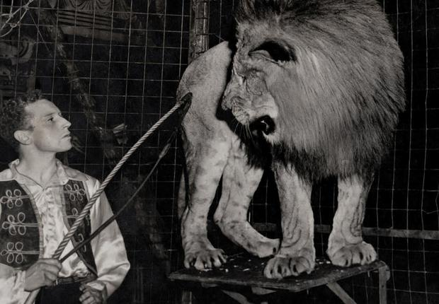 Bill Stephens in a cage with a lion