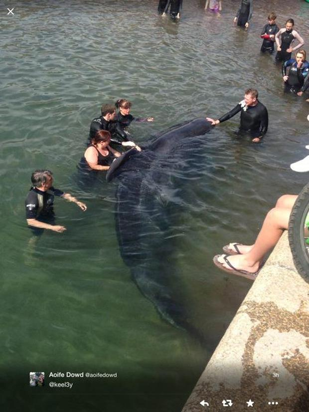 Members of the Irish Whale and Dolphin Group, along with staff from Dingle Oceanworld, get into the water to help rescue one of the distressed whales which became stuck at Brandon pier