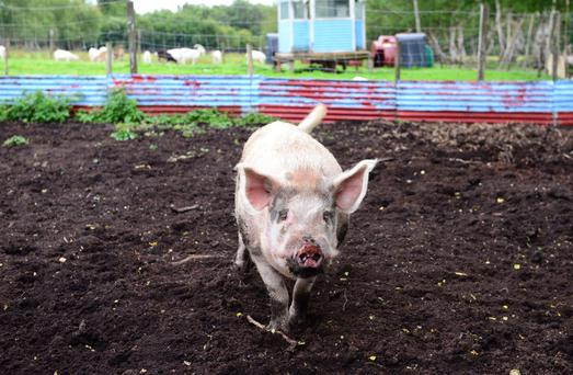 Napoleon the pig was bought as a micro-pig but kept growing, he was brought to the National Exotic Animal Sanctuary in Ballivor where he now lives happily