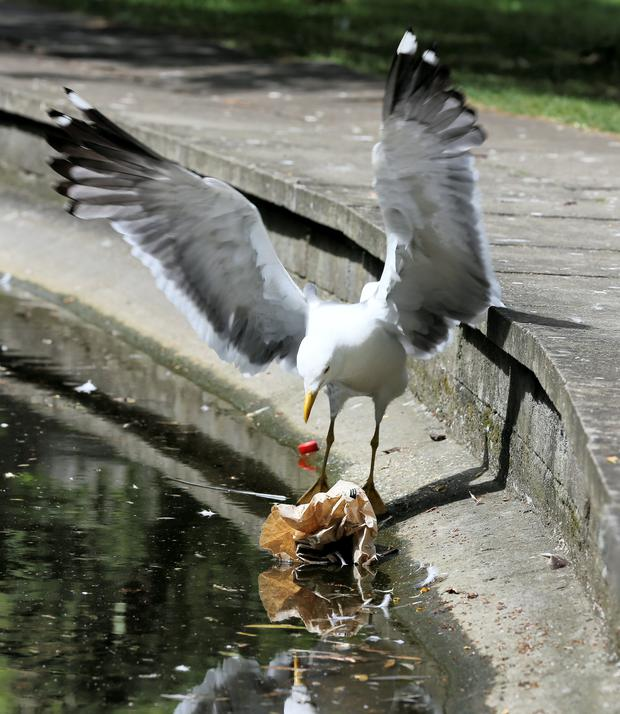 A seagull scavenges in St Stephen's Green