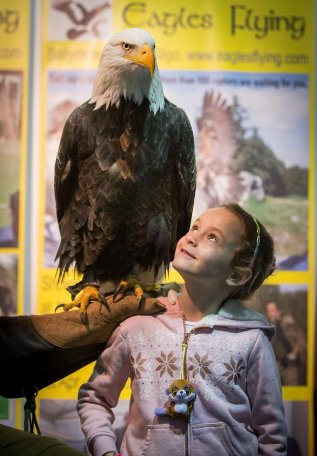 Laragh Byrne from Kildare with Alaska a 16 year old Bald Eagle from the Irish Raptor Research Centre sanctuary for birds in Sligo, at Pet Expo today. Irelands Premium Pet Exhibition at the RDS Simmonscourt. 8/11/2015 Picture by Fergal Phillips