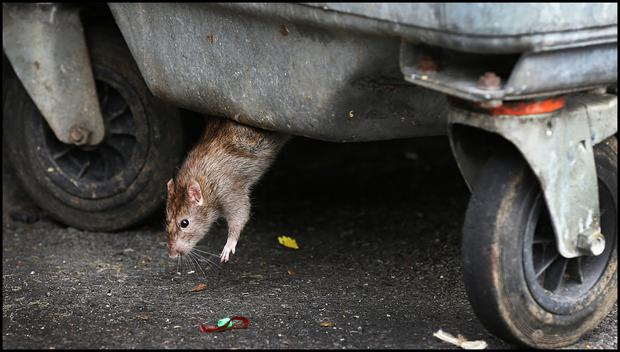 One of the enormous rats infesting Grange View Place in Clondalkin