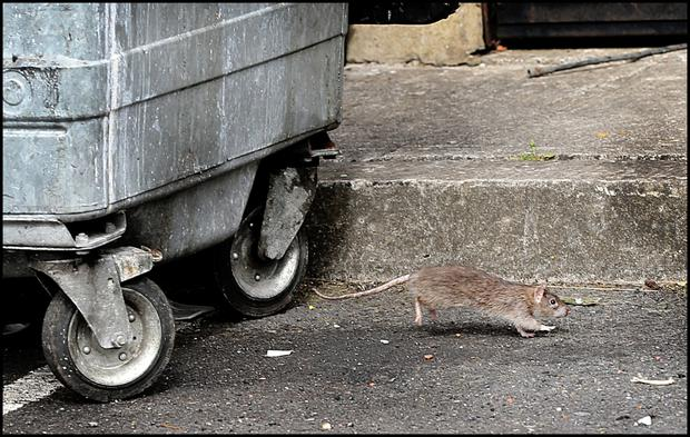 One of the rats infesting Grange View Place in Clondalkin