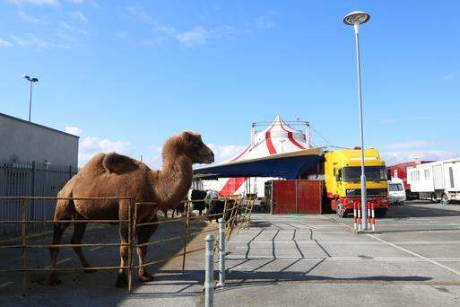 Bactrian camel Khalif and five Shetland ponies in their enclosure at the Charlestown Shopping centre, in Finglas