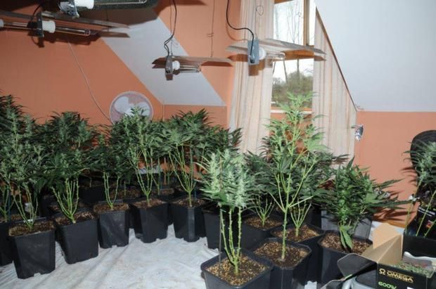 Some of the cannabis plants found in the house in Co Carlow