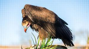 Staff are delighted a pair of white-headed vultures are now at Tayto Park, says Mike Brasser