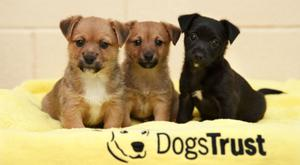 Terrier pups Tayana, Tefi and Timoti – abandoned in a box at the roadside in Tyrrelstown – are recovering at the Dogs Trust. Photo: Fran Veale