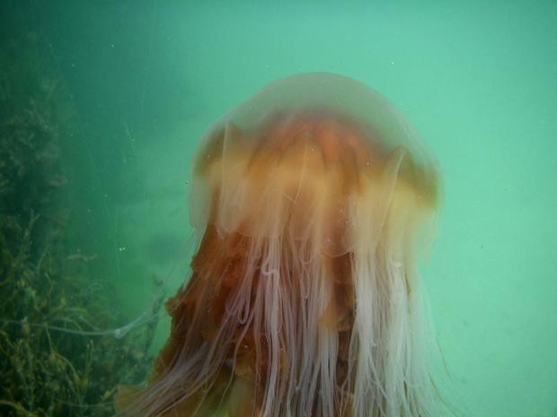 Lion's mane jellyfish, also known as the giant jellyfish or hair jelly
