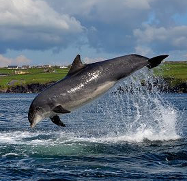 Dingle dolphin Fungie disappeared nearly a month ago
