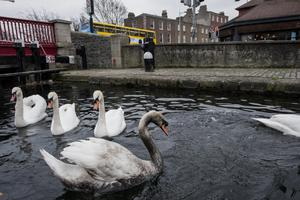 Swans covered in oil are recovered from Portobello Harbour by DSPCA Inspector Tony McGovern and Liam Kinsella