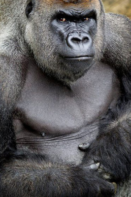 Harry the silverback gorilla died after a short illness