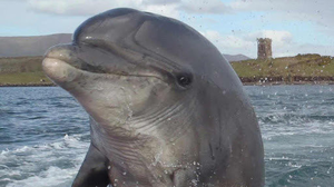 Much-loved Dingle dolphin Fungie