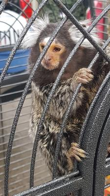 The monkey which was seized during a raid last                   year