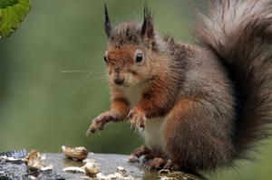 There are concerns about the impact on red squirrels in the area