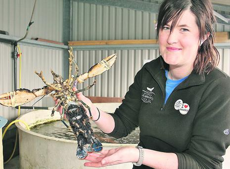 Sarah Hegarty with one of the 'berried' lobsters who are awaiting the birth of thousands of babies in Dingle's Oceanworld at the moment. Photo: Marian O'Flaherty