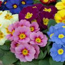 Primroses for winter pots