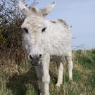 Donkeys have been part of Irish rural life for many years