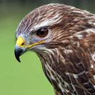 A Common Buzzard.